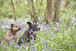 Among the bluebells